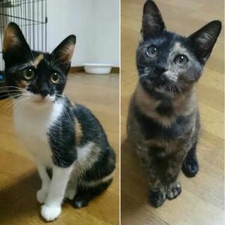 3ヶ月の三毛猫とマーブル猫の姉妹