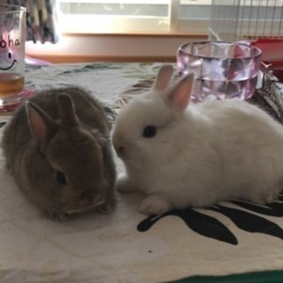 ネザーとミニウサギの子供うさぎ里親募集