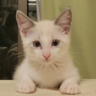 トライアル中です。白猫くん 約二か月半