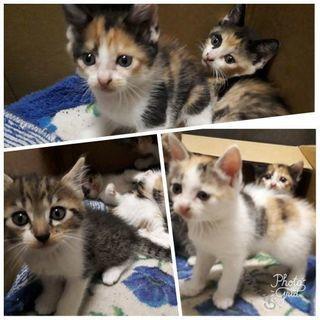 三毛猫 サバトラ