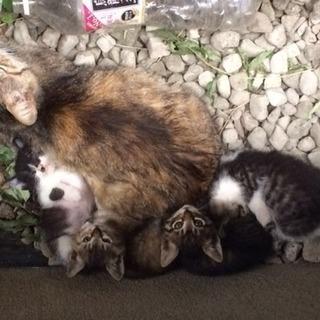 至急ハチワレ子猫ちゃん4ヶ月オスの里親募集 保護しました 病気なし...