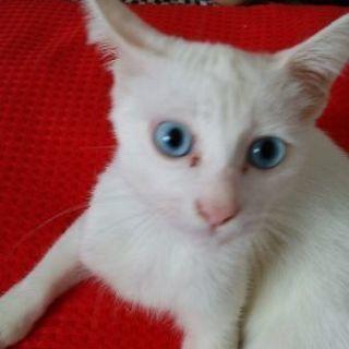 白い子猫さんです。