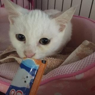 白猫女の子♀生後3カ月