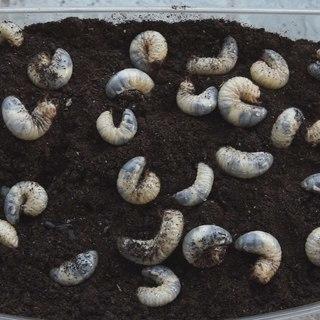 カブトムシ幼虫 共食い