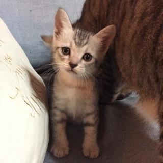 生後1ヶ月 仔猫の里親募集