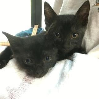 黒サバ仔猫2匹出来れば一緒にお願いします
