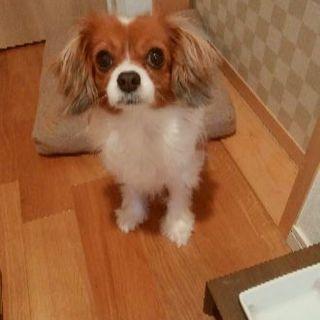 【里親決定】チワワ x キャバリアのミックス犬