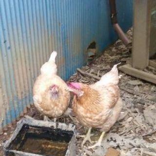 雌の鶏2匹あげます。