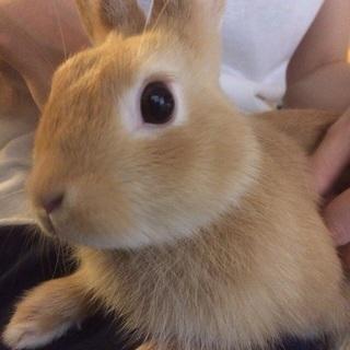 ウサギの里親さんを探しています