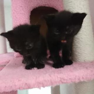 かわいい黒猫の子猫達里親募集