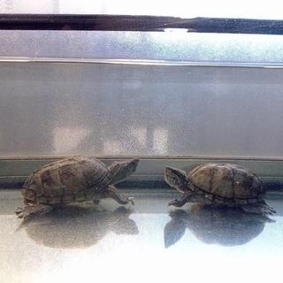 大きくならない家庭で飼える人気のミシシッピ亀3匹