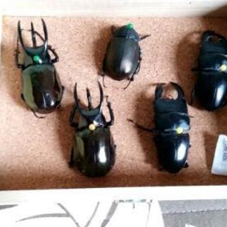 海外産昆虫の標本