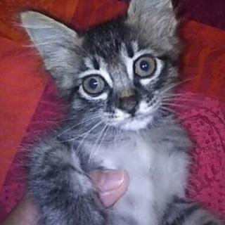 保健所からレスキューロン毛のキジ猫ちゃん