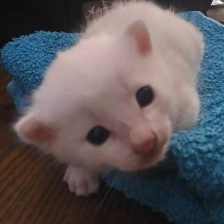 推定生後3週間の白猫