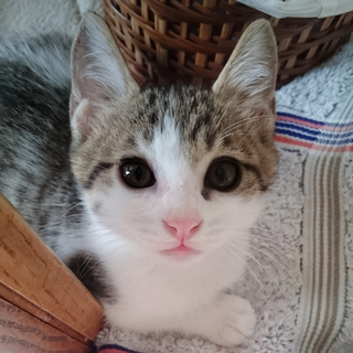 【募集停止】生後二ヶ月子猫★美形キジ白♂★珍しい片目メイク★甘えん坊