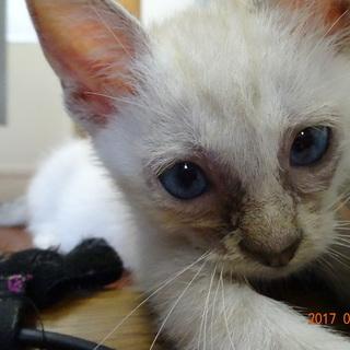 子猫 茶トラ クリーム色