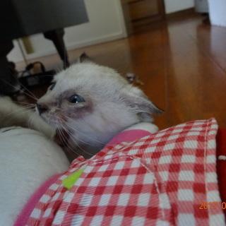 子猫 茶トラ クリーム色 - 沖縄市