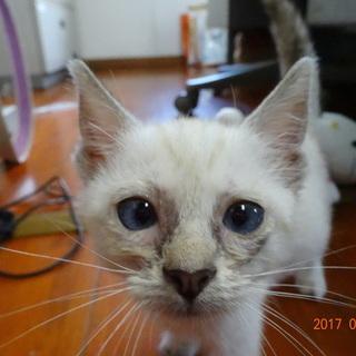 子猫 茶トラ クリーム色 - 猫