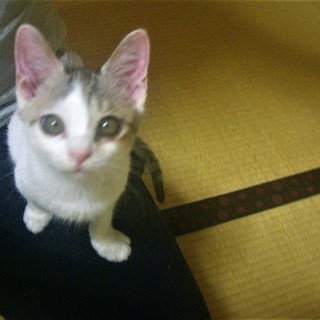 ^ↀᴥↀ^<動画あり♪  子猫 「三毛猫モドキ」 サバシロ サバ白...