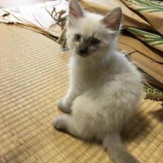 兄妹子猫 里親さん募集中 生後1.5〜2ヶ月