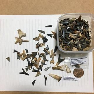 古代鮫の歯牙化石《始新世》