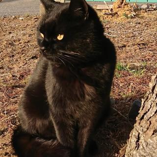 2歳ぐらいのメスの黒猫です