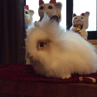 6月、7月産まれのウサギの子供達の里親募集です 一時停止