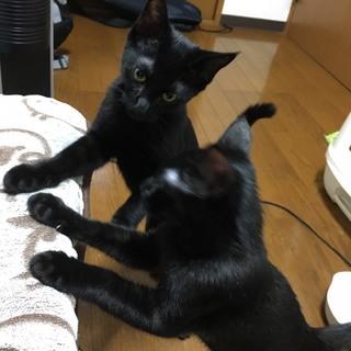 【一時停止】子供がアレルギーになったため、生後5ヶ月黒猫兄弟里親募集♪