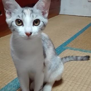 かわいい三毛猫♀5か月里親募集