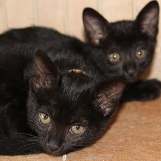 生後2か月の子猫  性格抜群 人との生活が大好きな2兄妹