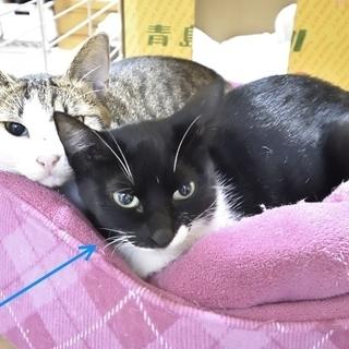 かわいそうな境遇の猫 成猫(メス)黒白色