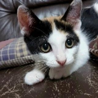 美人の三毛猫 モモちゃん