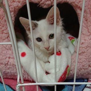 白長毛の子猫、かわいがってください🎵