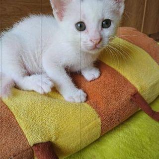 白猫 2ヵ月? めすおす 3匹