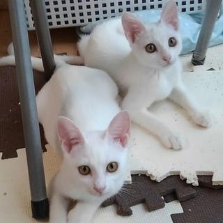 生後約4ヶ月の姉妹子猫(メス)の里親募集