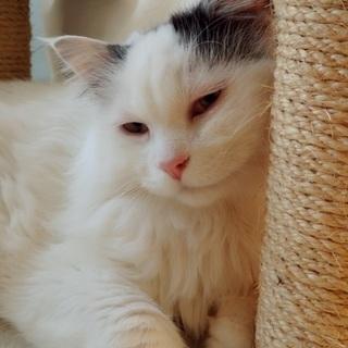 8歳オスハチワレ美猫