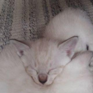 子猫の里親さん募集。8/16産まれ。