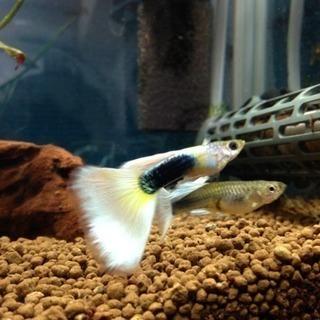 国産グッピー ドイツイエロータキシード 若魚5匹 (アルビノ同腹個体)