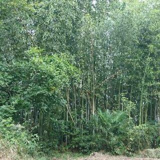 竹が欲しい方、大募集!!