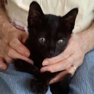 2ヶ月の黒猫ちゃん。オス。ダンボールで捨てられてました。賢くておと...