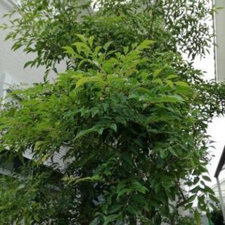 庭師 業者必見 庭木シマトネリコ約3m