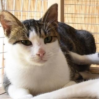 かわいそうな境遇の猫 若猫(オス1才)トラ白色
