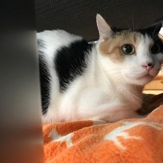 美人さん!三毛猫 仮名あんずちゃん