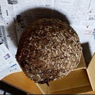 駆除された蜂の巣、探しています!