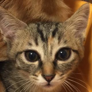 2カ月半 母猫が守っていた5兄妹♀みっちゃん
