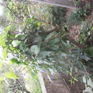 蝋梅 ロウバイの木 直径4センチ 高さ120cm