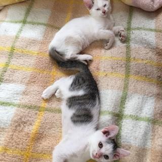 白ちゃん♀と八割れ♂(生後2か月)貰ってください