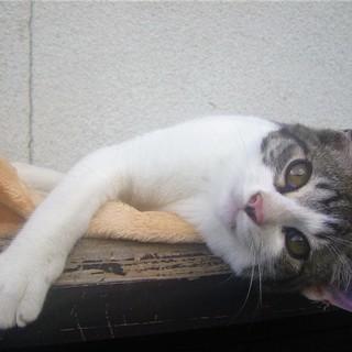 【再掲】( =ↀωↀ)っ<動画あり♪  子猫 の貰い手がなくて困...