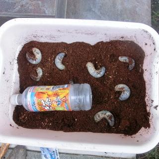カブトムシ幼虫10匹