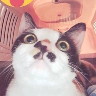 目がくりくりな三毛猫ちゃん